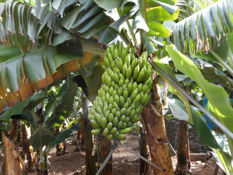 Zapachy Madery: banany.