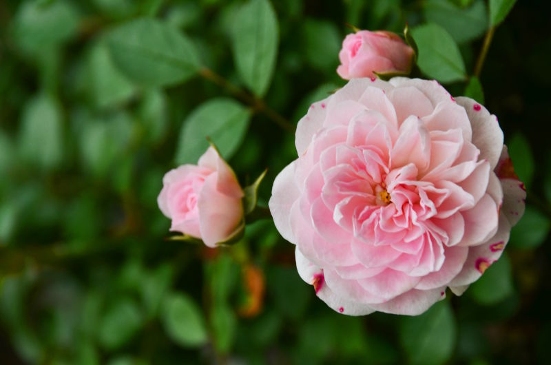 L'Artisan Parfumeur Rose Privée recenzja (fot.via unsplash.com)