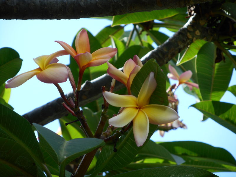 Zapachy Madery: frangipani